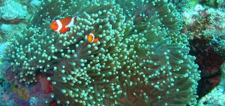 Clownfish Samal Island
