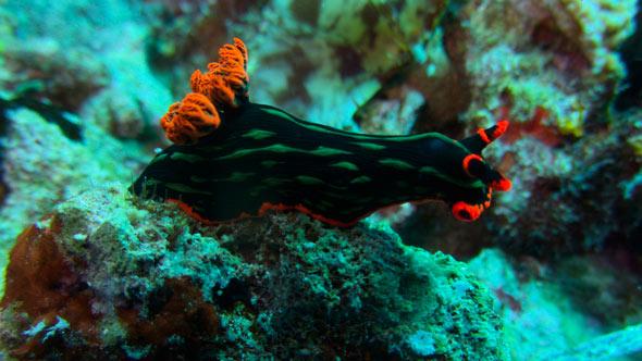 Nudibranch Balicasag